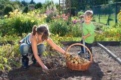 Récolte de pomme de terre photo stock