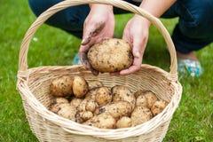 Récolte de pomme de terre dans le panier Images libres de droits