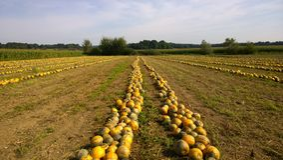 Récolte de potiron d'automne sur le champ Photos libres de droits
