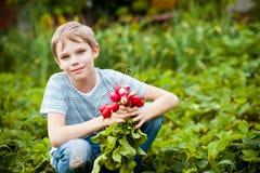 Récolte de radis Photographie stock