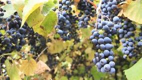 Récolte de raisin clips vidéos