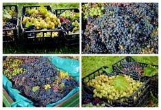Récolte de raisin Image stock