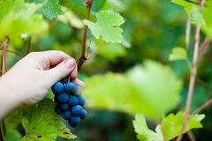 Récolte de raisin d'automne Photographie stock