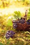 Récolte de raisins Photos libres de droits