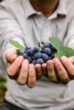 Récolte de raisins en automne photos libres de droits