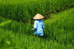 Récolte de riz Image libre de droits