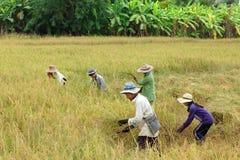 Récolte de riz de la Thaïlande Photos stock