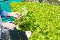 Récolte de système de ferme d'agriculture biologique de culture hydroponique photos libres de droits