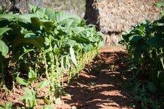 Récolte de Tabacco Photo stock