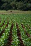 Récolte de Tabacco Image libre de droits