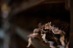 Récolte de Tabacco Image stock