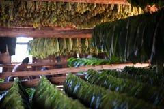 Récolte de Tabacco Photographie stock