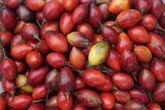 Récolte de tamarillo de plateau de Dieng Photos libres de droits