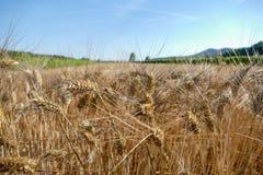 Récolte de texture de blé de blé Photos libres de droits