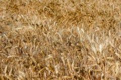 Récolte de texture de blé de blé Image stock