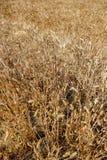 Récolte de texture de blé de blé Images stock