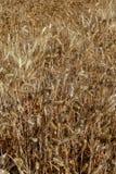 Récolte de texture de blé de blé Photo stock