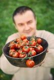 Récolte de tomate Photographie stock libre de droits