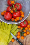 Récolte de tomate Images libres de droits