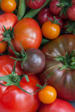 Récolte de tomate Images stock