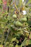 Récolte de tomate de chute Photographie stock libre de droits