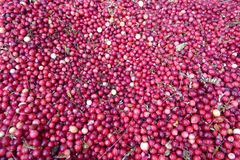 Récolte des canneberges au Canada photo libre de droits