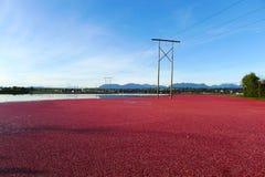 Récolte des canneberges dans l'eau au Canada photo stock