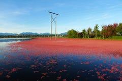 Récolte des canneberges dans l'eau au Canada photo libre de droits