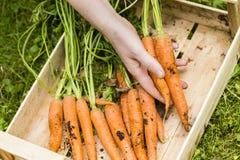 Récolte des carottes image libre de droits