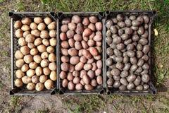 Récolte des pommes de terre de différentes variétés Photographie stock libre de droits
