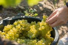 Récolte des raisins sur un vignoble images libres de droits