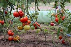 Récolte des tomates photos libres de droits