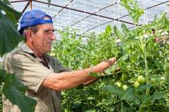 Récolte des tomates de serre chaude Image libre de droits