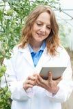 Récolte des tomates femelle d'In Greenhouse Researching de scientifique Photo stock