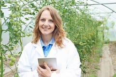 Récolte des tomates femelle d'In Greenhouse Researching de scientifique Photographie stock