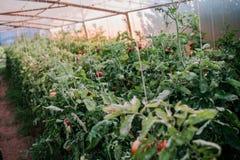 Récolte des tomates fraîches de l'élevage écologique et domestique Images stock