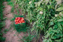 Récolte des tomates fraîches de l'élevage écologique et domestique Images libres de droits