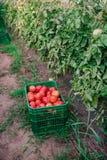 Récolte des tomates fraîches de l'élevage écologique et domestique Photo libre de droits