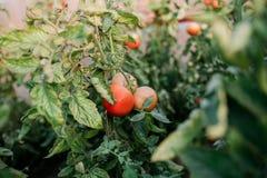 Récolte des tomates fraîches de l'élevage écologique et domestique Photos libres de droits