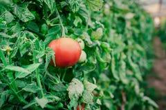 Récolte des tomates fraîches de l'élevage écologique et domestique Image libre de droits