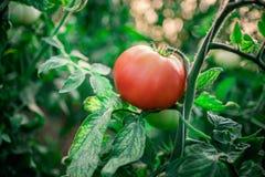 Récolte des tomates fraîches de l'élevage écologique et domestique Photographie stock libre de droits