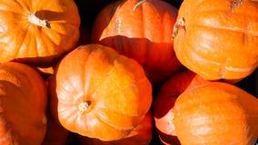 Récolte fraîche au soleil 3 de potirons oranges Photo libre de droits