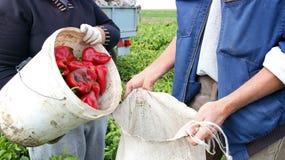 Récolte fraîche de poivron rouge photos libres de droits