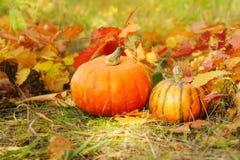 Récolte fraîche du potiron deux parmi les feuilles d'automne Images stock