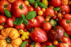 Récolte fraîchement sélectionnée de tomate d'héritage : en forme de poire, coeur de boeuf, tigerella, brandywine, cerise, noire photographie stock libre de droits