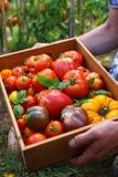 Récolte fraîchement sélectionnée de tomate d'héritage : en forme de poire, coeur de boeuf, tigerella, brandywine, cerise, noire D photographie stock