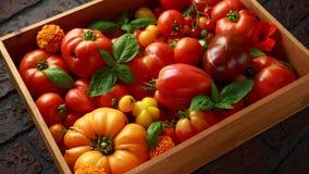 Récolte fraîchement sélectionnée de tomate d'héritage : en forme de poire, coeur de boeuf, tigerella, brandywine, cerise, noire D images stock