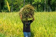 Récolte indonésienne d'agriculteur leur paddy photographie stock libre de droits