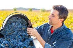 Récolte méditerranéenne cabernet sauvignon d'agriculteur de vignoble Photographie stock libre de droits