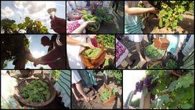 Récolte mûre de raisin, concept de vin clips vidéos